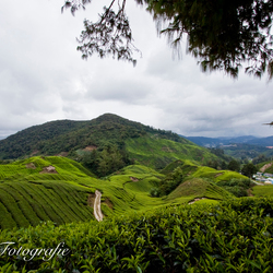 Theeplantages Maleisie, Cameron Highlands