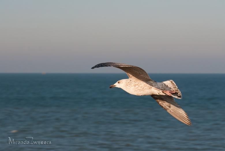 Zweefvlucht - Deze zeemeeuwen soaren bij de juiste wind lekker over de wind langs de helling van de Noordpier bij Velsen-Noord en Wijk aan Zee. Hoewel