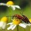 Paring van zwartkopvuurkevers