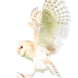 Tyto alba (Kerkuil)