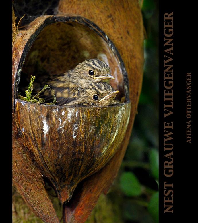 Grauwe vliegenvanger nestje - Dit voorjaar kreeg ik het verzoek om foto's te maken van een nestelende grauwe vliegenvanger. Zij had een nestje ge