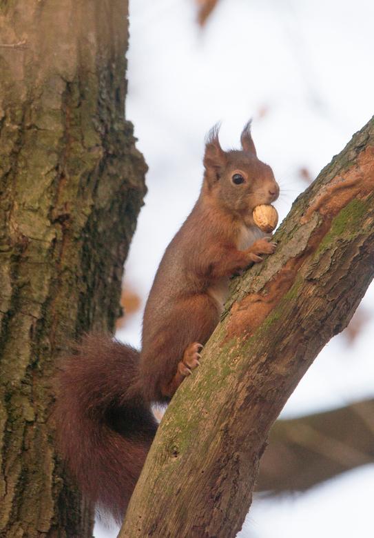 Eekhoorn - eekhoorn Etten-Leur
