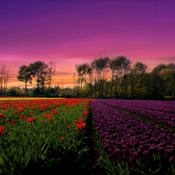 Red-Purple Tulips