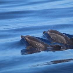 Dolfijnen bij La Palma!