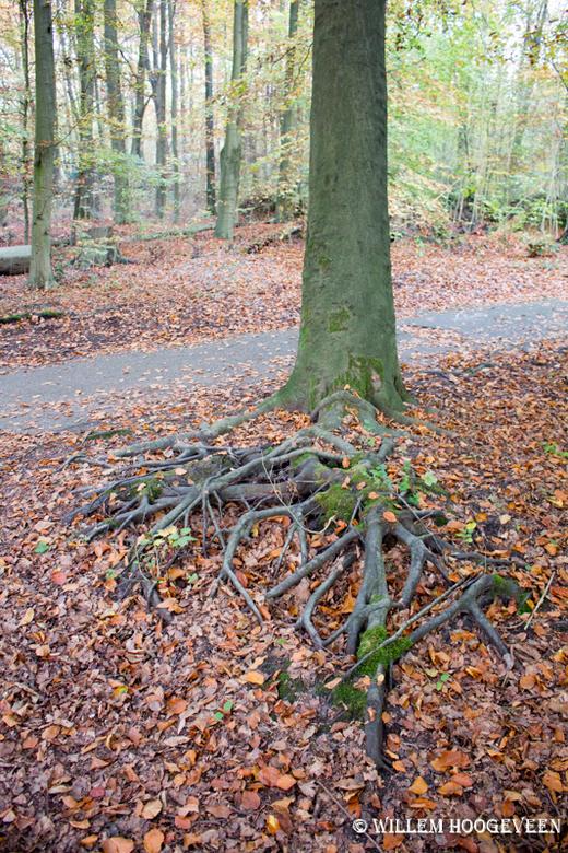 Ik hou mij stevig vast - Aan één zijde van de boom waren meer dan twee meter wortels bovengronds zichtbaar. Tijdens onze wandeling was dit de enige bo