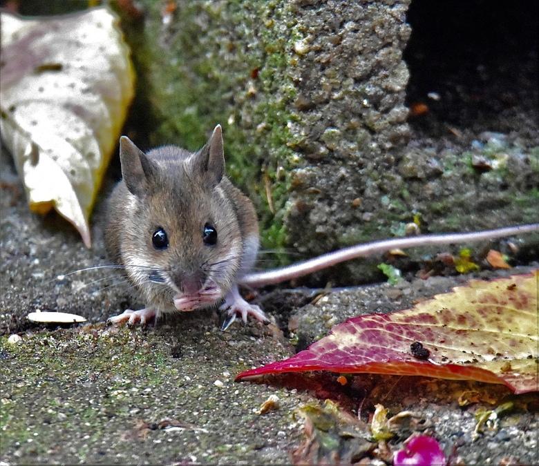 bosmuisje.. - Bosmuisje komt even rondscharrelen in mijn tuin op zoek naar zaadjes. Er schijnt overigens momenteel  in het oostelijk deel van Nederlan