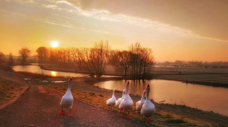 Ganzen bij een koude zonsopkomst