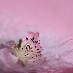 Rhapsodie in rose