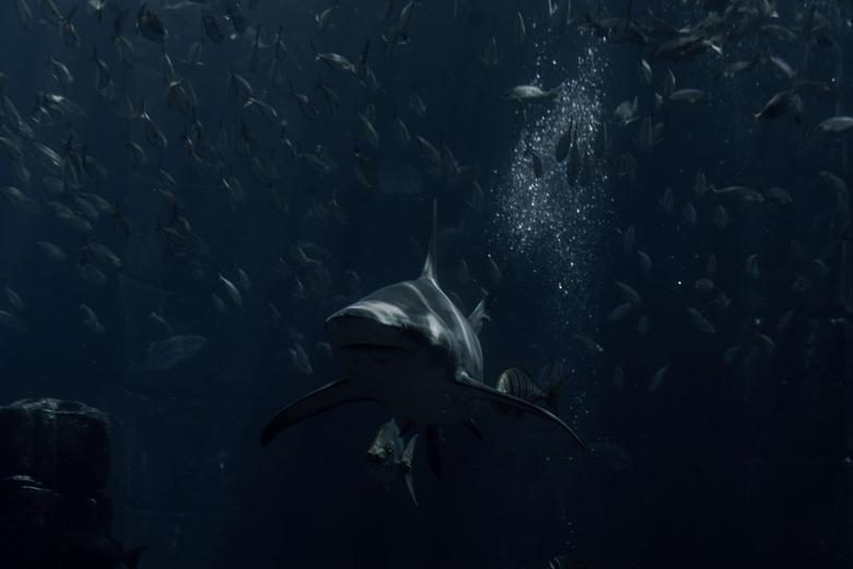 Shark - Koning van de zee