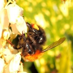 Nectar zuigende hommel