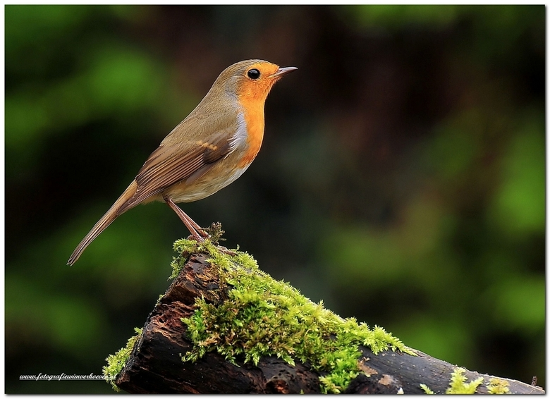 Robin - .