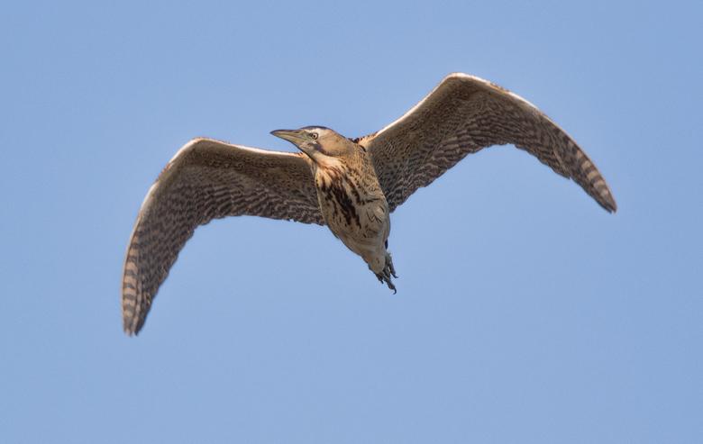 Overvliegende Roerdomp - Roerdomp die bijna over mij heen vloog