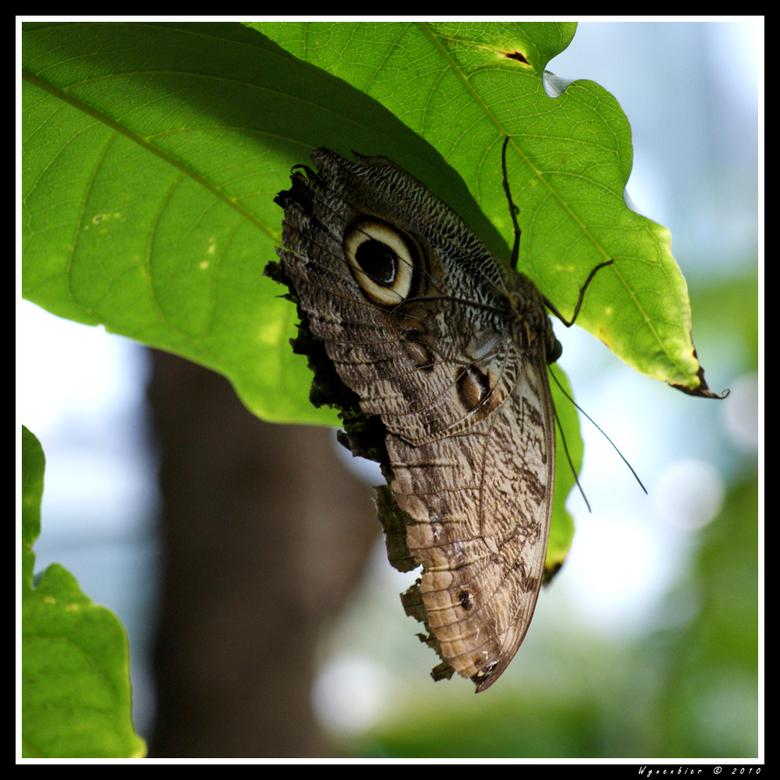 Uilvlinder (Caligo Memnon) -