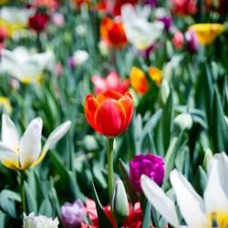 The Tulips Garden @ #Keukenhof2018