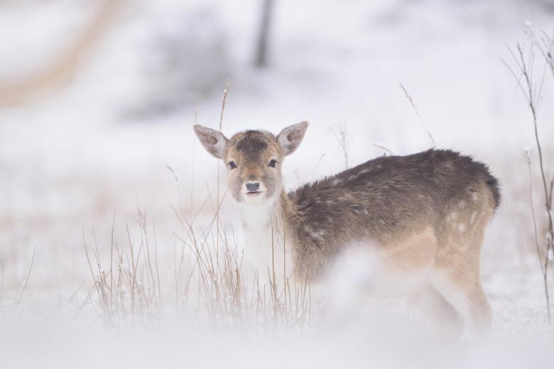 Damhert in de sneeuw