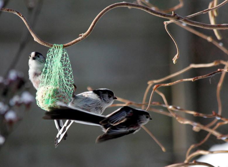 Vliegensvlug ! - Vandaag staartmeesjes in de tuin. Was aan het lunchen, zag ze in mijn ooghoek, gelukkig camera in de buurt. 5 keer kunnen klikken en