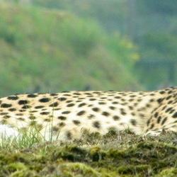Cheetah overziet het