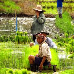 Werken in de rijstvelden