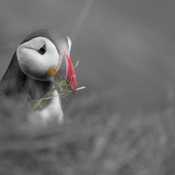 Papagaaiduiker (Pufin)