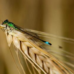 Libelle op wintergerst
