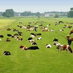 Koeien2.jpg