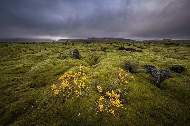 Yellow Leaves - De herfst is gearriveerd op een lavaveld n IJsland.