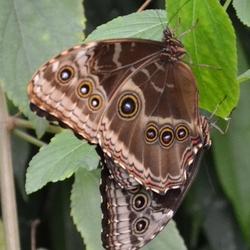 Vlinder bruin met ringen.jpg
