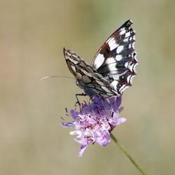 Opnieuw de vlinder