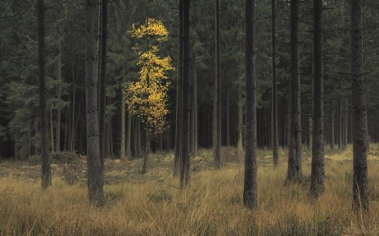 Dare to be different - Een eenzame berk in herfstklueren tussen de dennenbomen. Fot is genomen tijdens een herfstweekend in de Hoge Venen in Belgie.