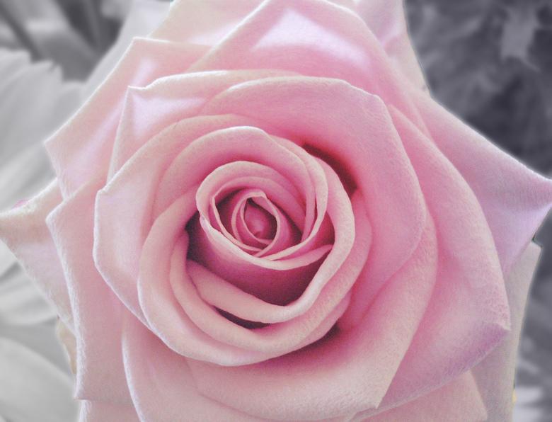 Roze rose -