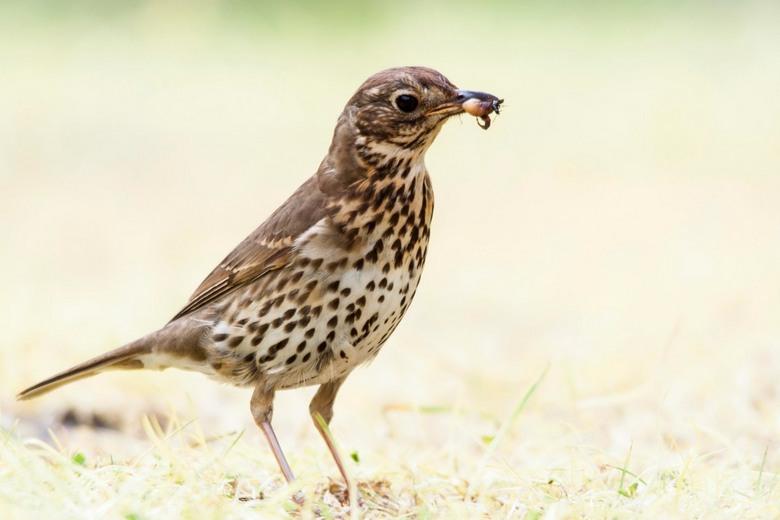 Song Thrush - Zanglijster (Mavis / Song Thrush)<br /> <br /> Een slimme vogel; zodra er een tentje van de camping verdween, vloog de lijster naar de