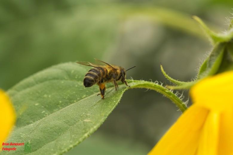 Bij/Wesp - De bijen/wespen zijn ook aanwezig in september.