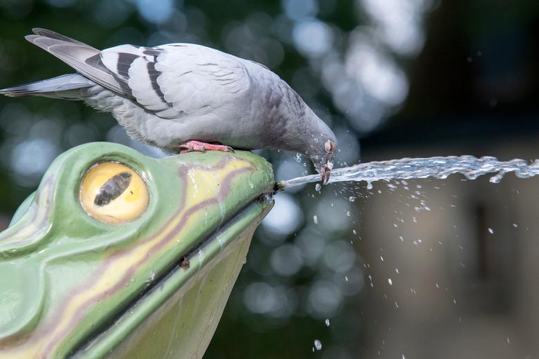 dorstige duif in de efteling - Dorstige duif in de efteling