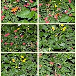 Bloeiende planten met hier en daar de passiebloemvlinder Heliconius sara of Heliconius wallacei.