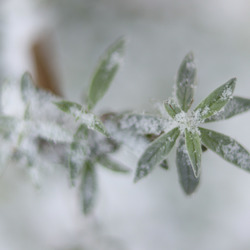 Vlinderstruik in de winter