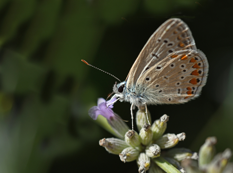 zomer in Zuid-Europa - In Medulin Kroatië heb ik op één locatie drie soorten blauwtjes gefotografeerd, het icarusblauwtje, het bruin blauwtje en het g