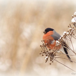 Bird of Gold