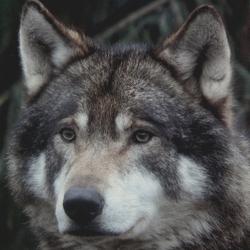 Mr. Wolf representing...