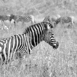 Zebra zwart/wit
