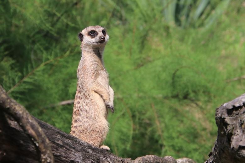 """Stokstaartje  - Het stokstaartje is een klein roofdier dat tot de mangoesten behoort. Hij wordt ook wel """"aardmannetje"""" genoemd en bewoont al"""