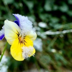 """Winter"" viooltje."