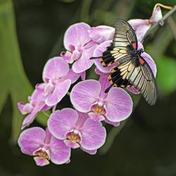vlinder op orchidee