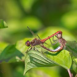 parende rode heidelibellen