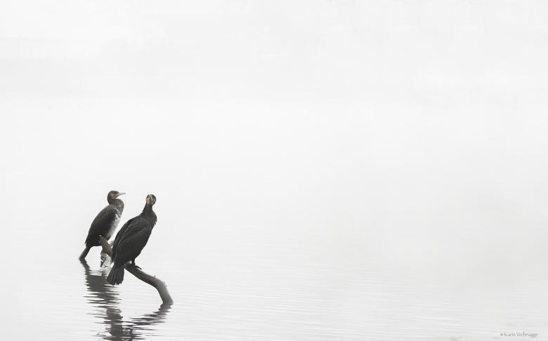 Aalscholvers in de mist