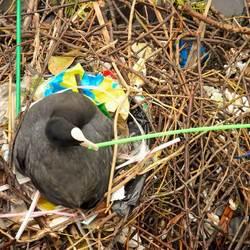 Meerkoet op rommelig nest