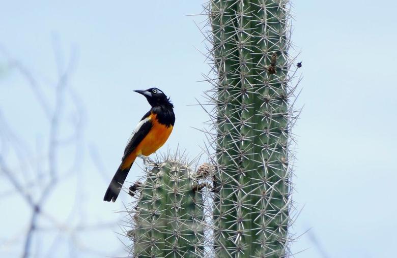 Troepiaal op cactus