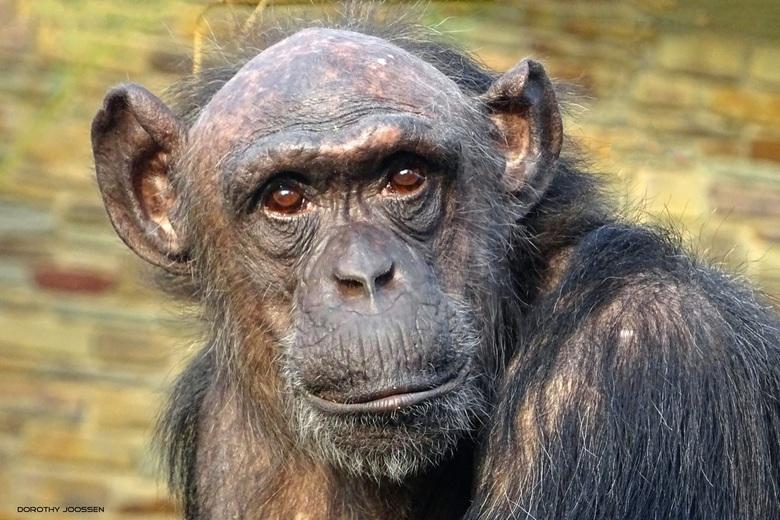 Oogcontact - Wat een plezier om deze chimpansee te fotograferen! Een dankbaar 'fotomodel'.