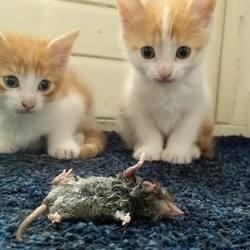 kittens met dode muis
