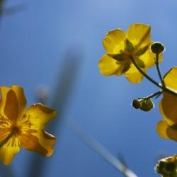 Boterbloemen in de zon.jpg