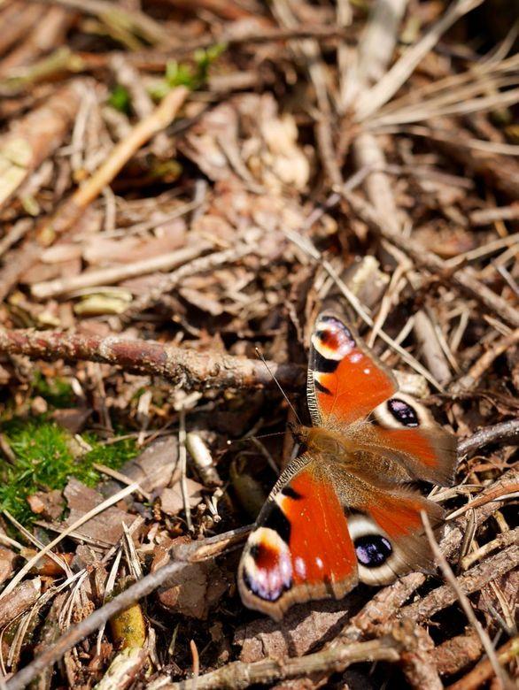 Dagpauwoogje in het bos - Dagpauwoogje in het Carstenbos bij IJhorst in Overijssel.